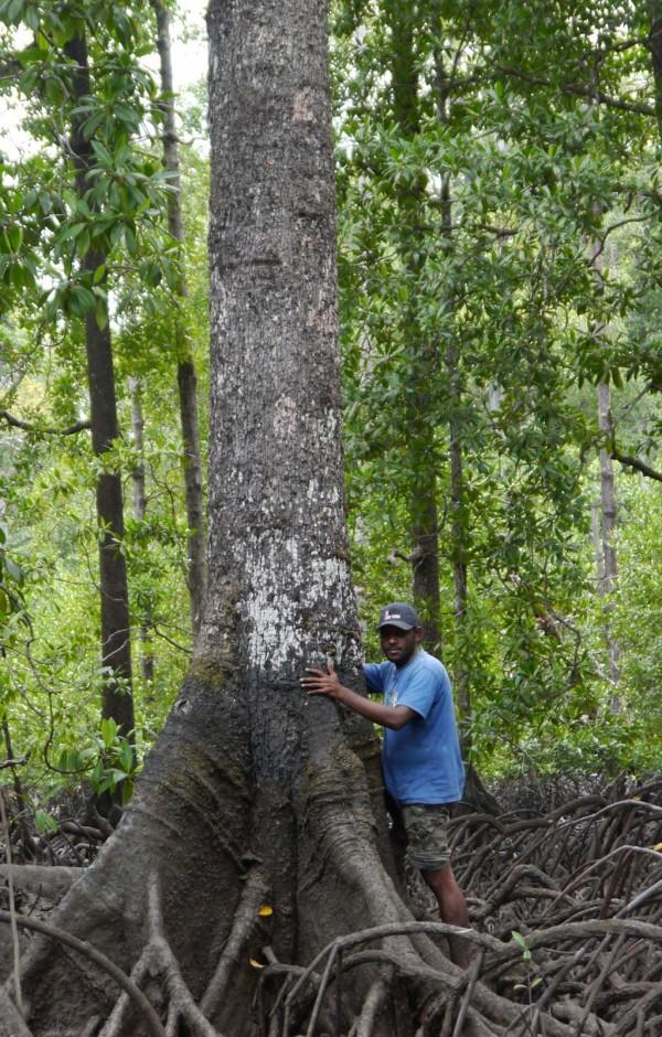 BUMWI Pohon Besar